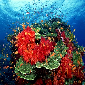 Red Coral (Corallium rubrum) Growing with Other Marine Ocean Coral Image